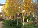 Beautiful autumn birch coming up driveway