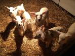 March and April is lambing time for us. These are our pet lambs