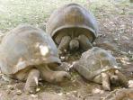 Tortoises, Pamplemousses Botanical Garden