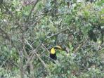 A Chestnut-Mandibled Toucan in a Guabilla Tree located on the property!