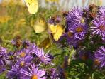 Fall is beautiful with plenty of fall flowers and butterflies.