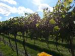 Vineyards during harvest.
