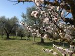 Il campo di ulivi