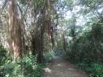 Beautiful tree on easy hiking trail near condo.