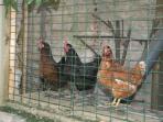 Nuestras gallinas