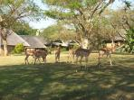 Resident impala throughout the Resort
