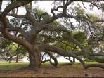 Wonderful lve oaks. Friendship Oak is a must see in Long Beach