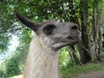 les lamas à la Bresse