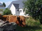 Here the sheep and Highland cows graze up to the door.