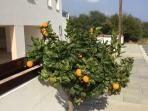 Orange tree outside apartment