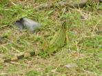 Green tailed Iguana photographed 3 minutes from Cabana Beach Condos at the Smithsonian Institute