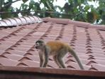 One of our frequent squirrel monkey visitors!