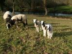Spring lambs at Butterwell Farm