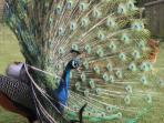 Peacock in full bloom