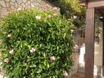 l'ibiscus del giardino
