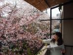 Sakura from the balcony.