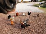 la ronde des poules...