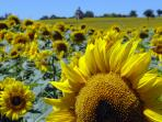 walks or horse-riding through the surrounding sunflower fields
