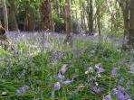 Bluebell wood just outside the lodge gates