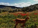 Divina the goat may join you for a walk in a mountain meadow