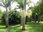 le palmier bouteille en fleur 1fois/10ans