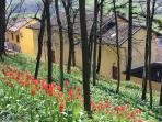 La Dimora:marzo, fioritura di tulipani selvatici.