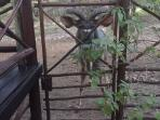 Kudu bull coming for a head scratch on the Milkwood's gate.
