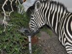 Zebra having a drink from the bird bath.