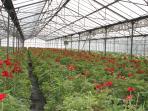 une vue de notre production hivernale d'anémones !