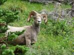 Bighorn Sheep in Glacier Park
