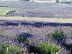Lavender fields around the property