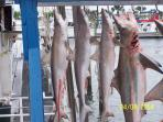 Fishing Trip out of Port A  - those sharks are huge for light weight fishing equipment.