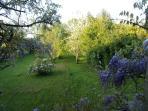 le jardin et sa glicine