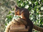 One of the rare red squirrels on the Isle of Wight - winter is a great time to spot them