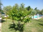 Arbres fruitiers de la propriété, abricotier, cerisiers, poiriers, framboisiers fraisiers...