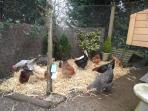 Our chickens enjoying the sunshine in their own garden