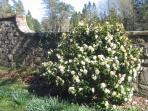 A camellia in bloom on the outside of the walled garden