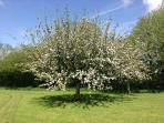 Apple Tree in Blossom in South Coombe's Cider Orchard