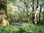 The Bluebell wood outside your door