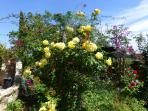 There are hundreds of roses in the garden. They flower almost all year around here...