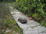 Enjoy without disturbing the habitat of this endangered gopher turtle