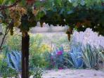 Vista sulla vigna e agavi dal giardino della casa