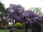 Wisteria in April