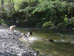 HAPPY DOGS IN SAME RIVER