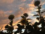 Sunset with the sunflowers.