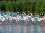 Flamingo birds in the natural reserve of Camargue