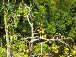 more fruit trees in season