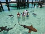 See sharks on Compass Cay