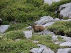 Marmotte au Plateau de Solaison