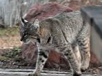 Even an occasional bobcat strolls through...